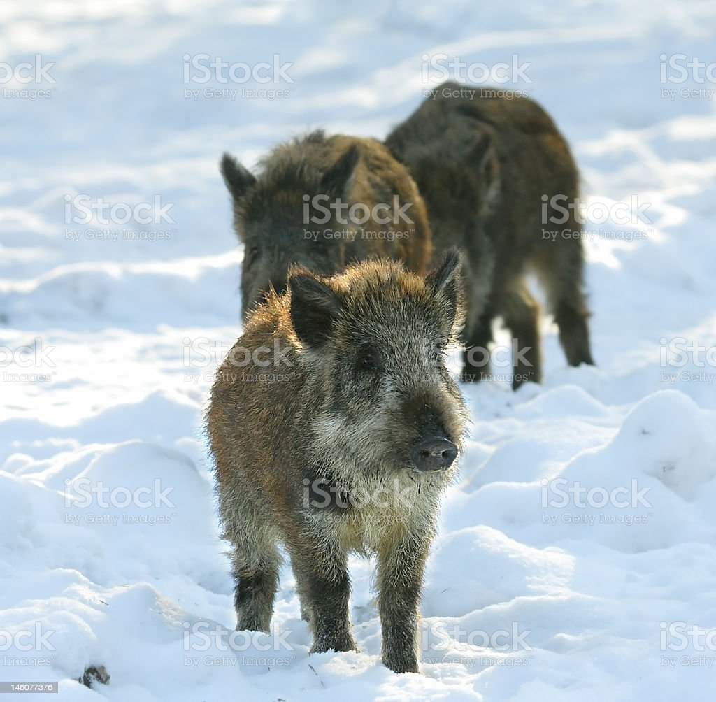Baby of wild boar royalty-free stock photo