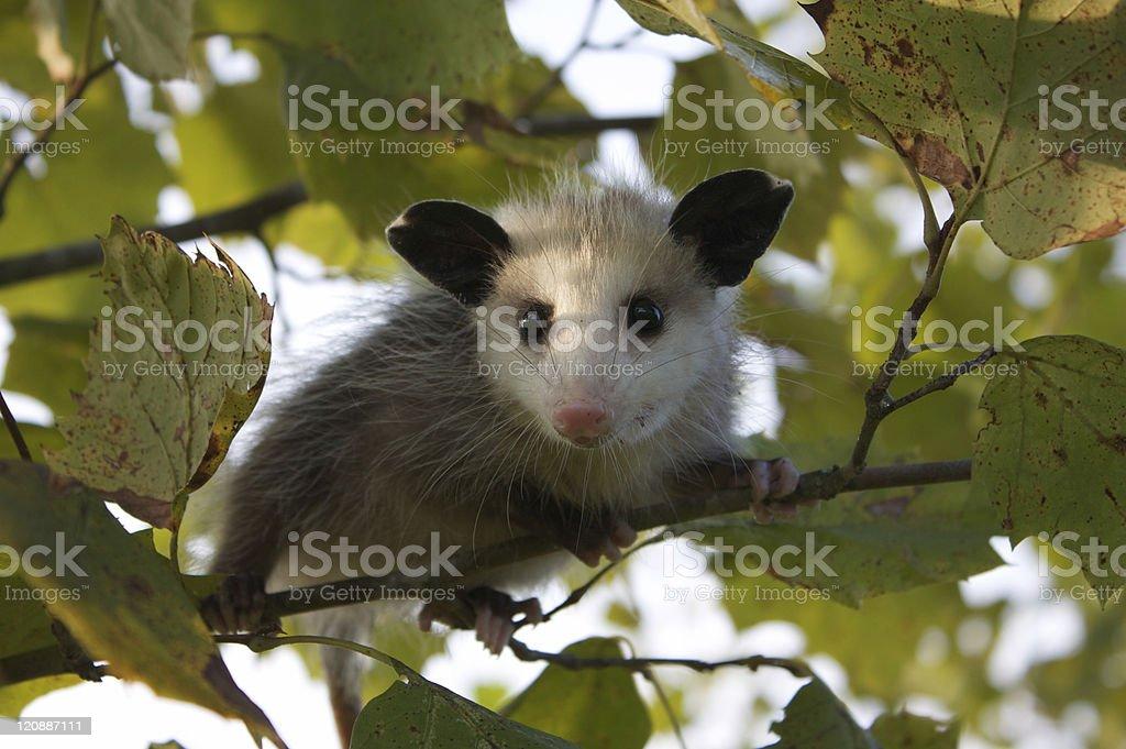 Baby Opossum royalty-free stock photo