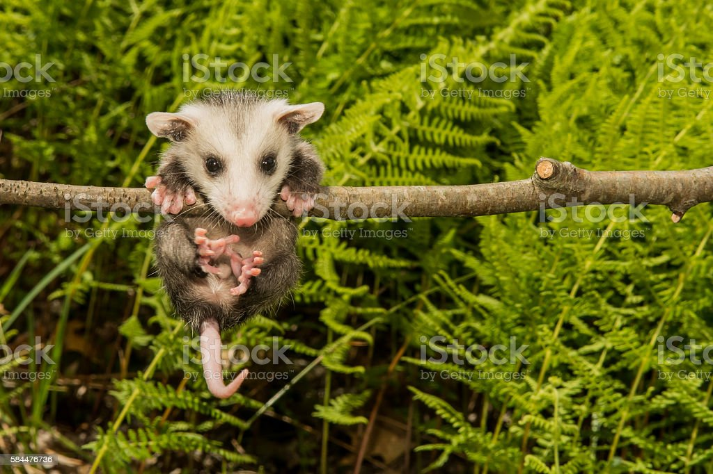Baby Opossum stock photo
