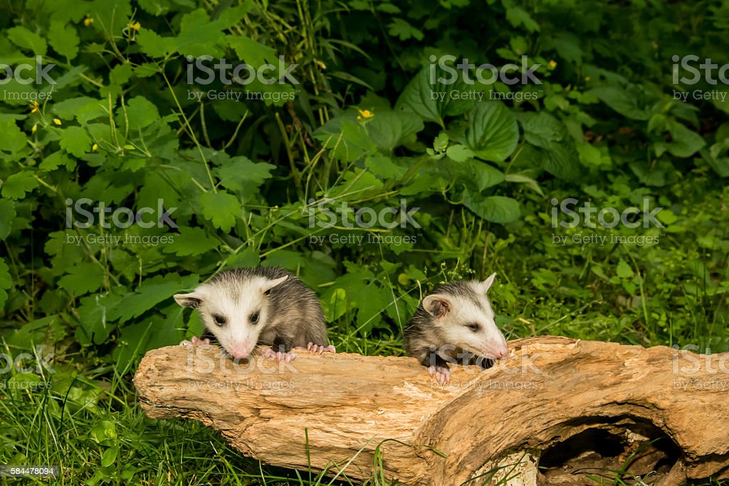 Baby Opossum stock photo