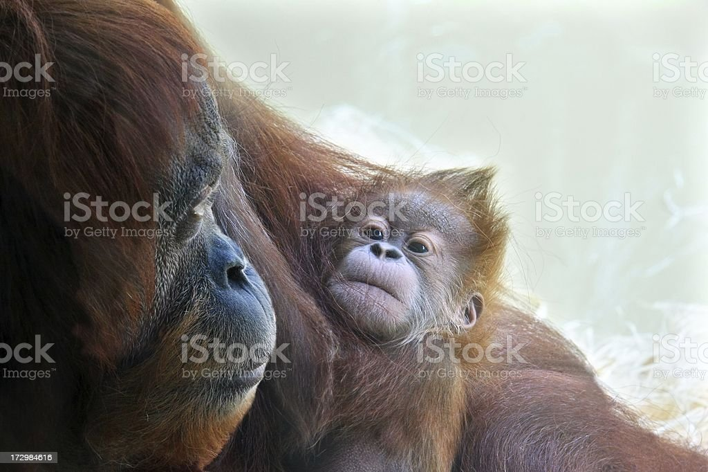 Baby Orangutan and the proud mother royalty-free stock photo