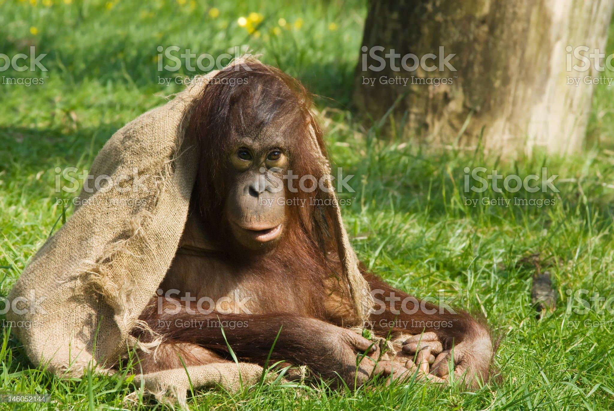 baby orangutan royalty-free stock photo
