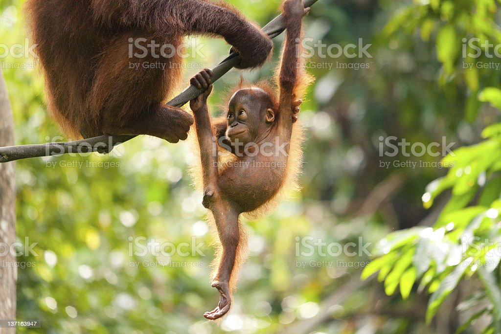 Baby Orangutan Playing stock photo