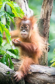 Baby Orangutan sits in the trees and eats