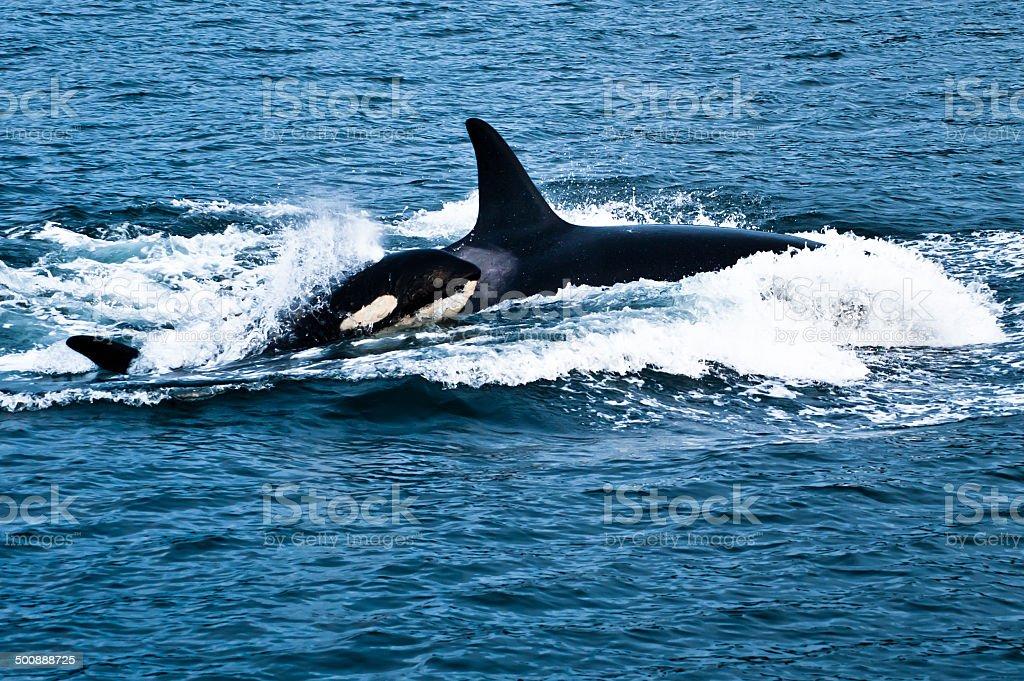 Baby Orca stock photo