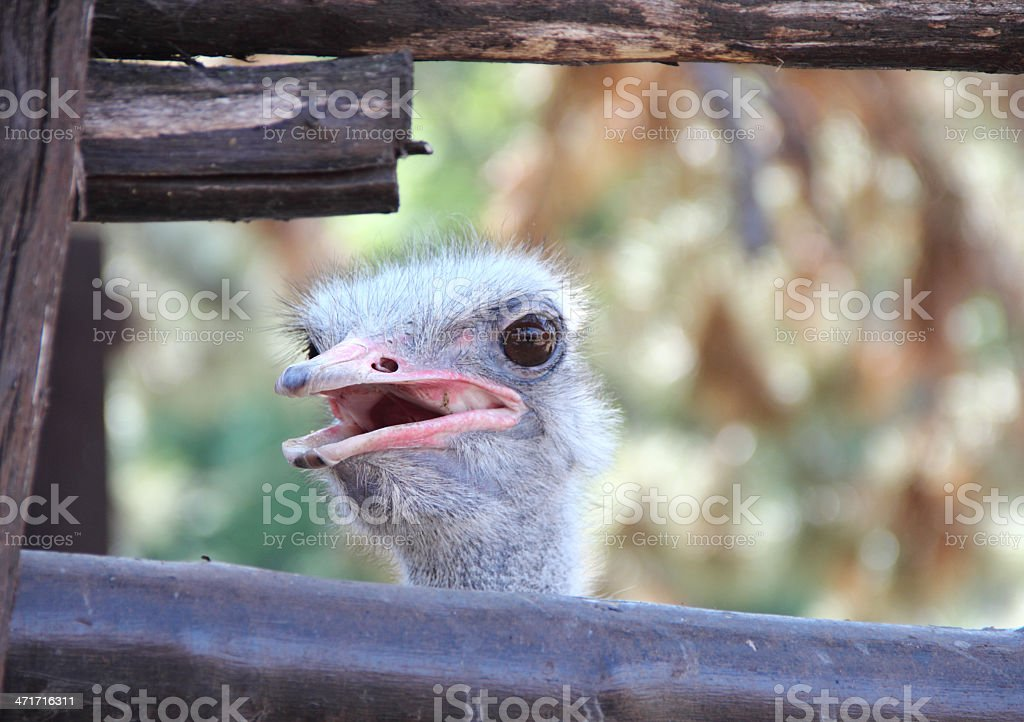 Baby ostrich royalty-free stock photo