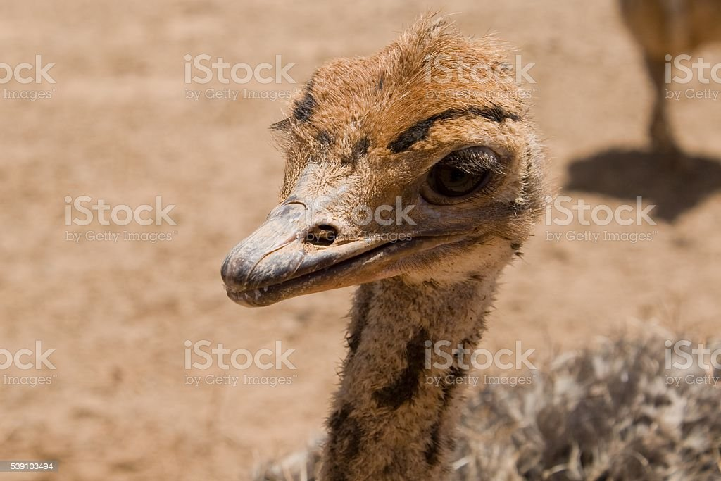 Baby Ostrich stock photo