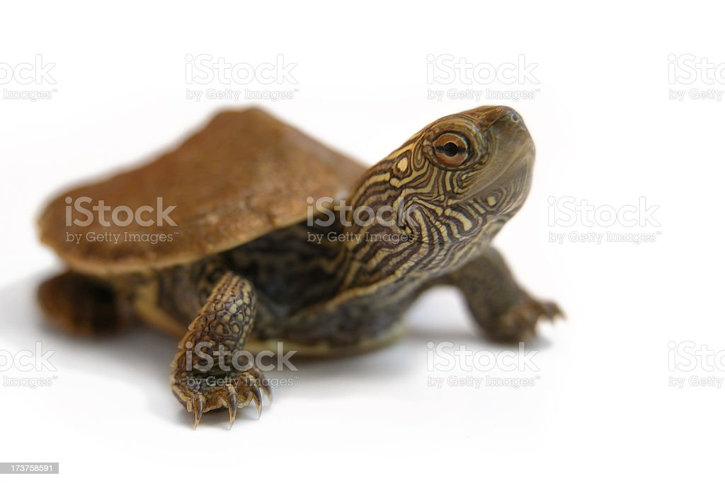 Baby Painted Turtle Sticking his Neck Out on White Background stock photo