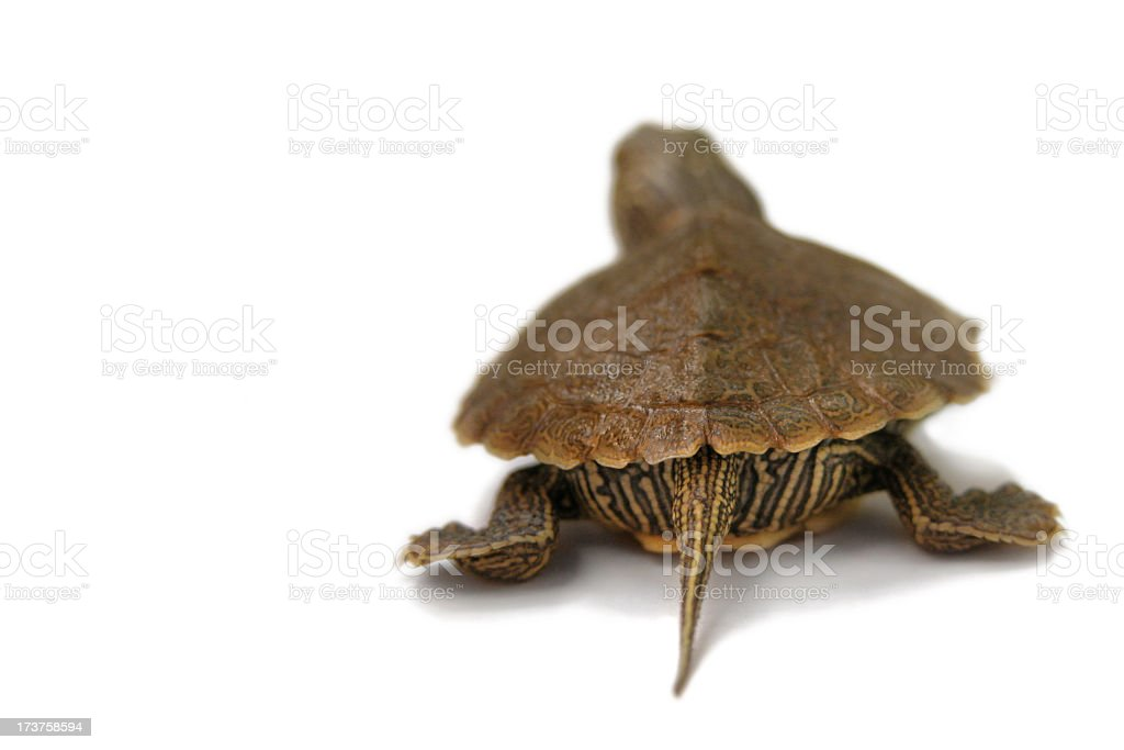 Baby Painted Turtle Walking Away on a White Background stock photo