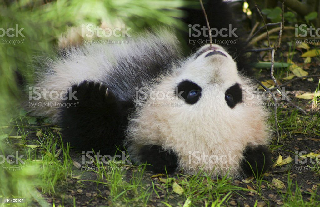 baby panda on back stock photo