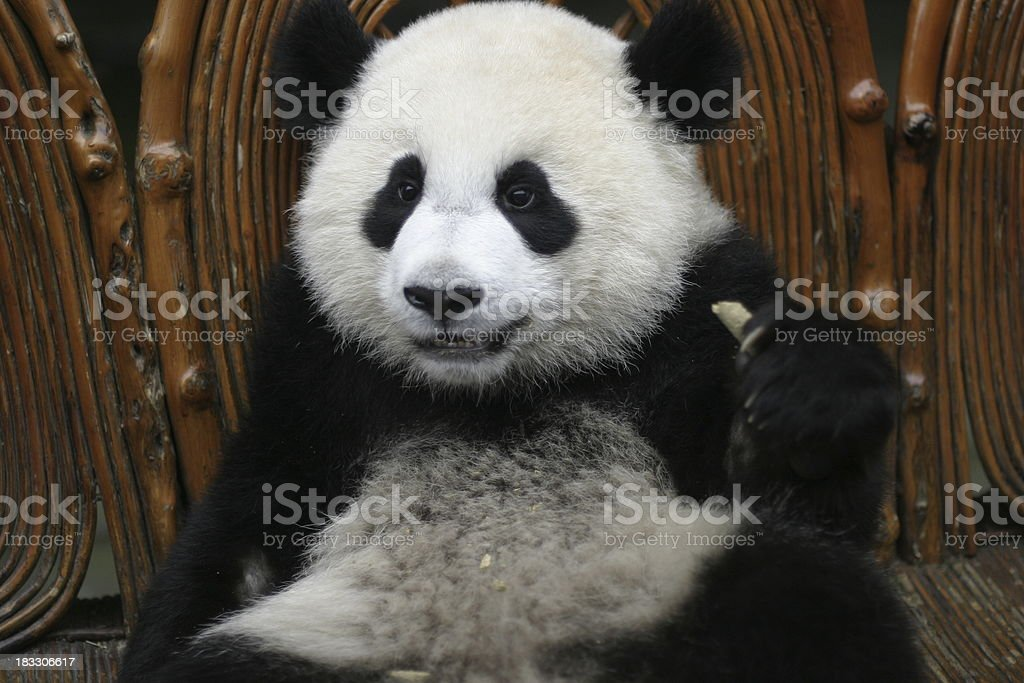 Baby Panda Sitting on a Couch royalty-free stock photo