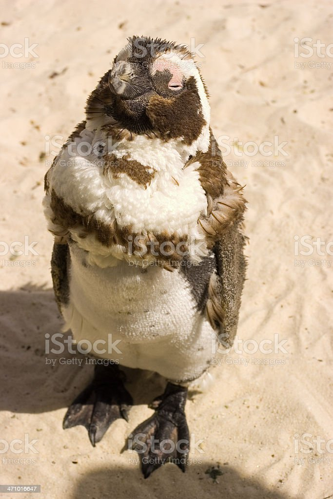 Baby Penguin at Boulders Beach royalty-free stock photo