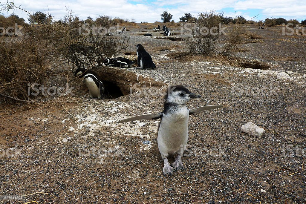 Baby penguin stock photo