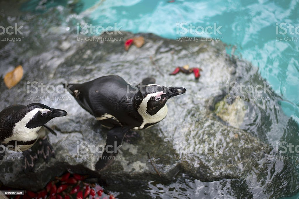 Baby penguins royalty-free stock photo