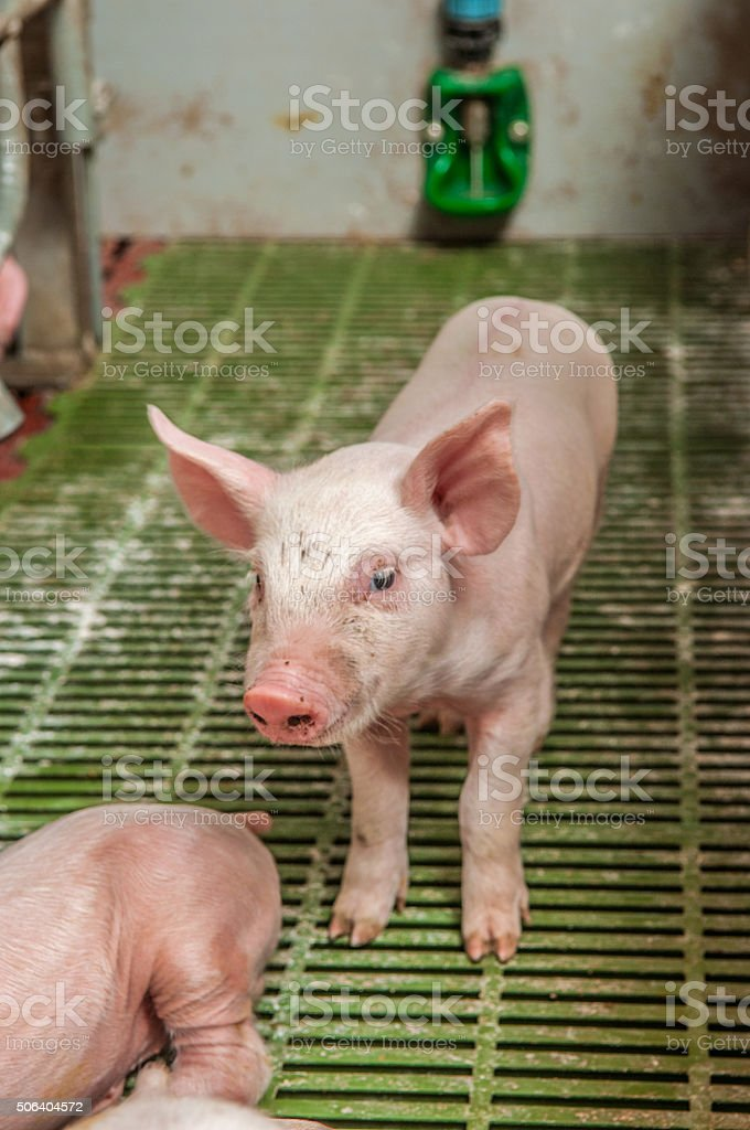 Baby pig in a pigsty stock photo