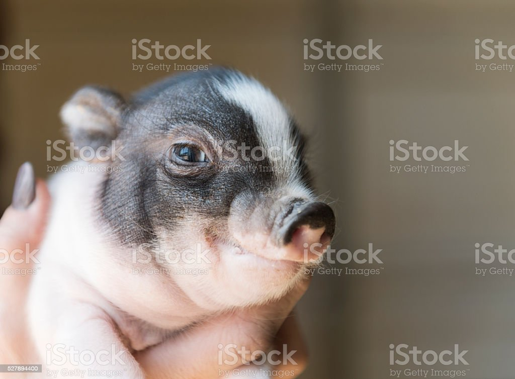 Baby Piglet stock photo
