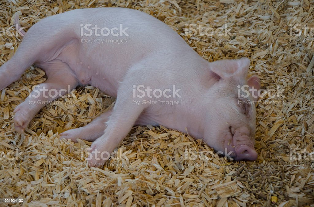 Baby Piglet Sleeping stock photo