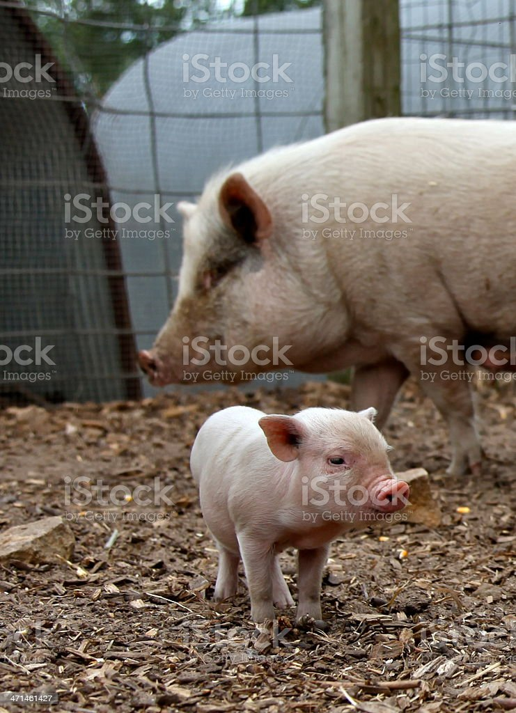 baby piglet with mother sow stock photo