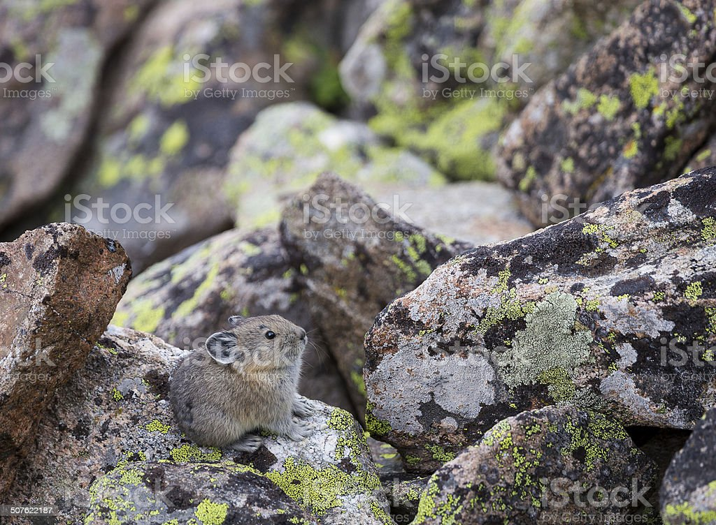 Baby Pika stock photo