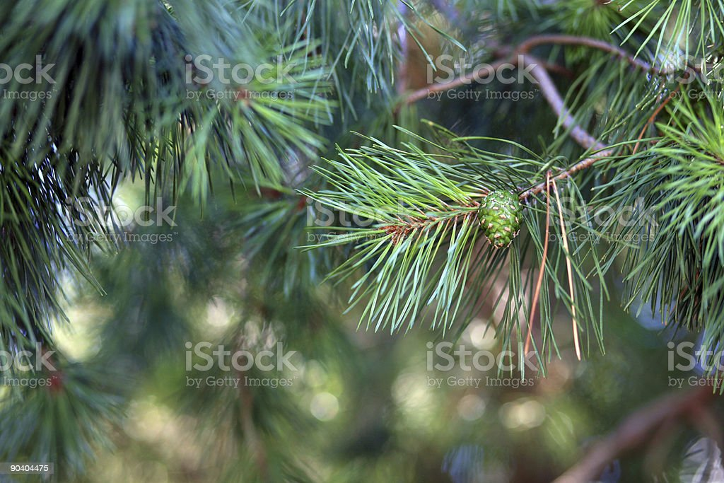 Baby Pine Cone royalty-free stock photo