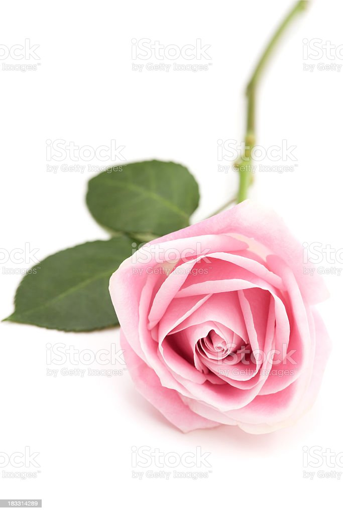 A baby pink long stem rose isolated on white royalty-free stock photo