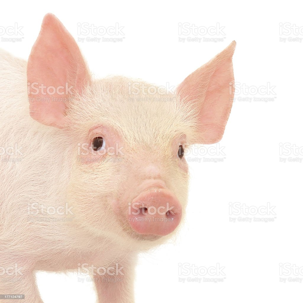 A baby pink piglet on a white background royalty-free stock photo