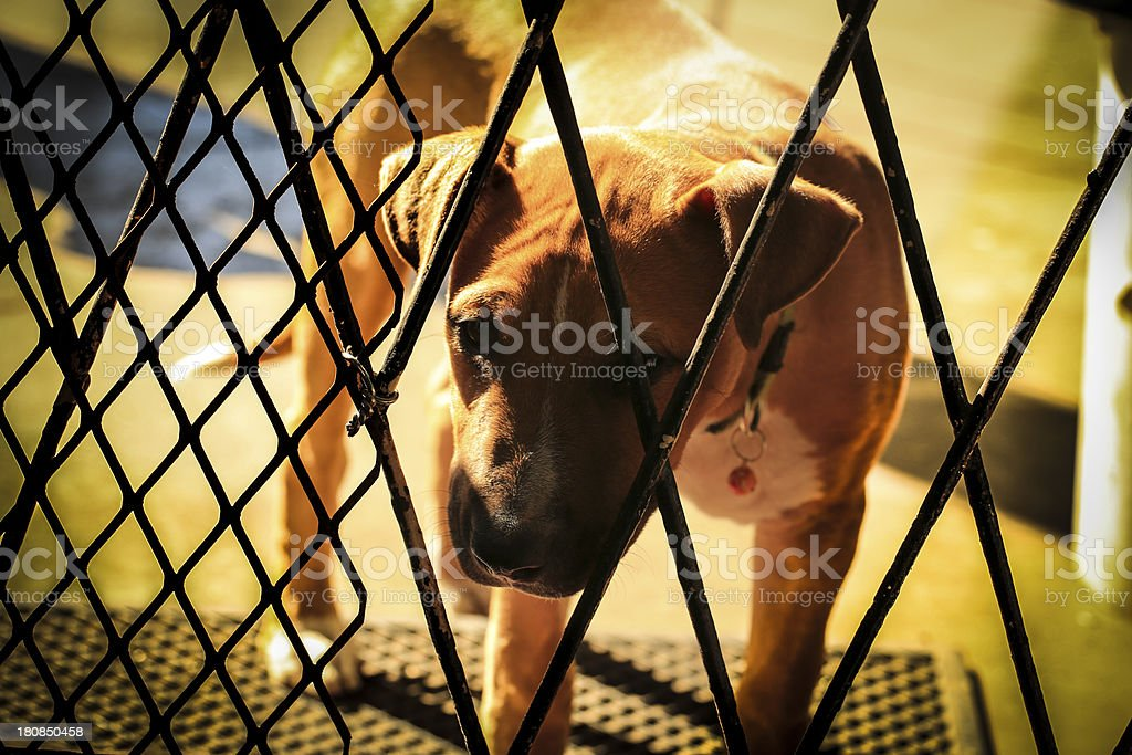 Baby Pit-bull royalty-free stock photo