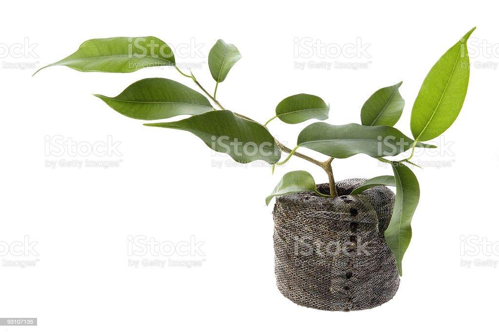 baby plant. ficus stock photo