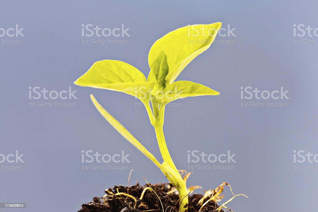 Baby plant in compost royalty-free stock photo