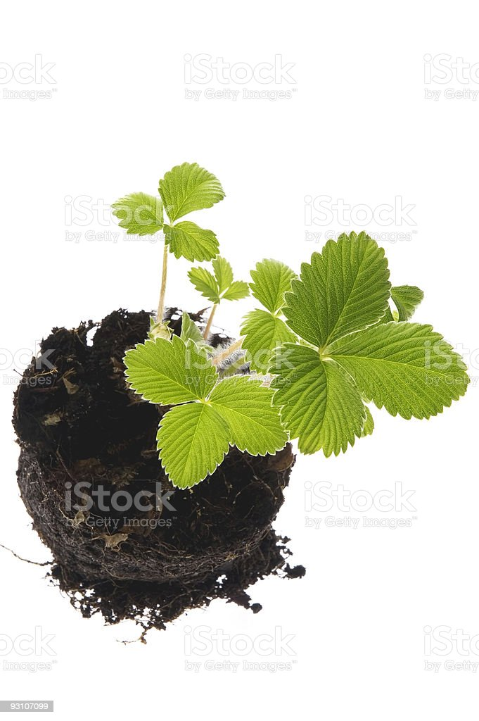 baby plant - strawberry royalty-free stock photo