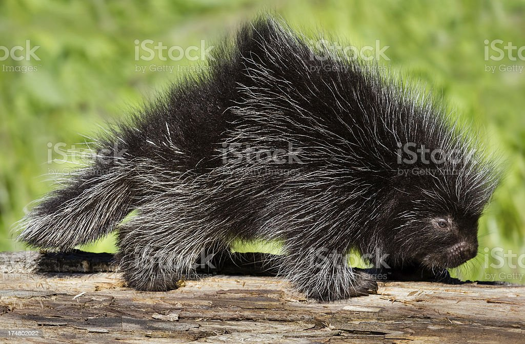 Baby Porcupine stock photo
