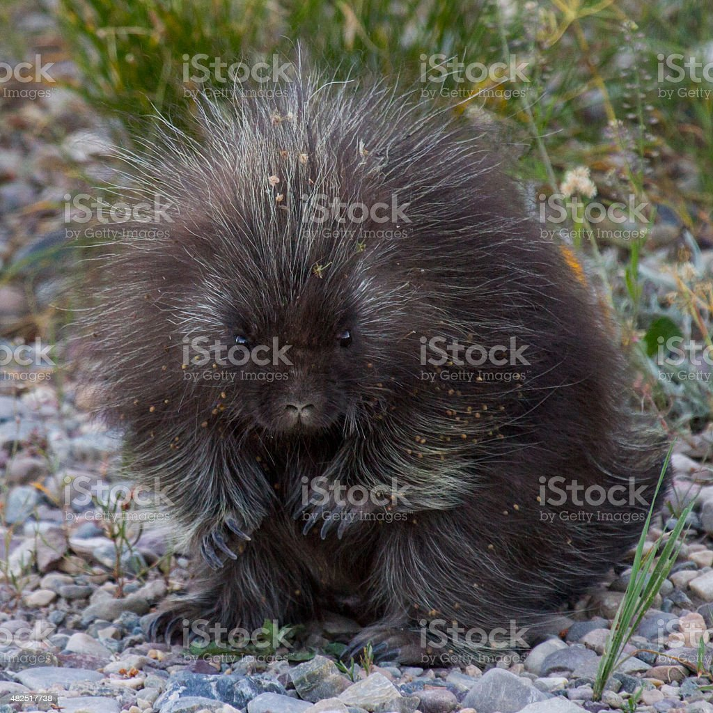 baby porcupine portrait stock photo