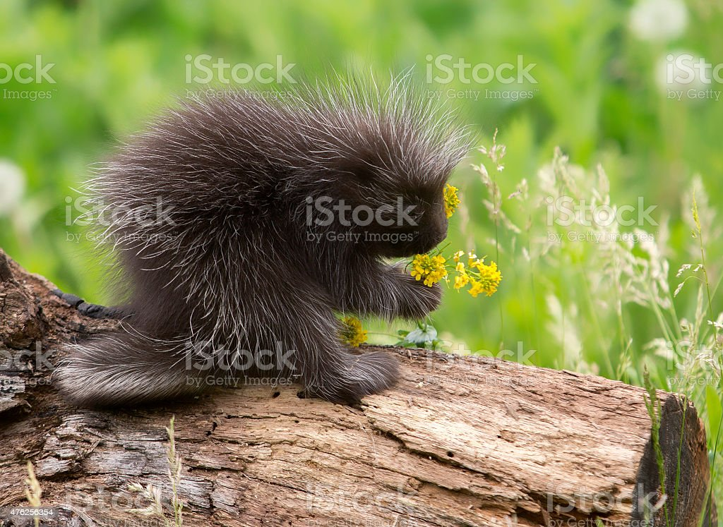 Baby porcupine smells the flowers stock photo