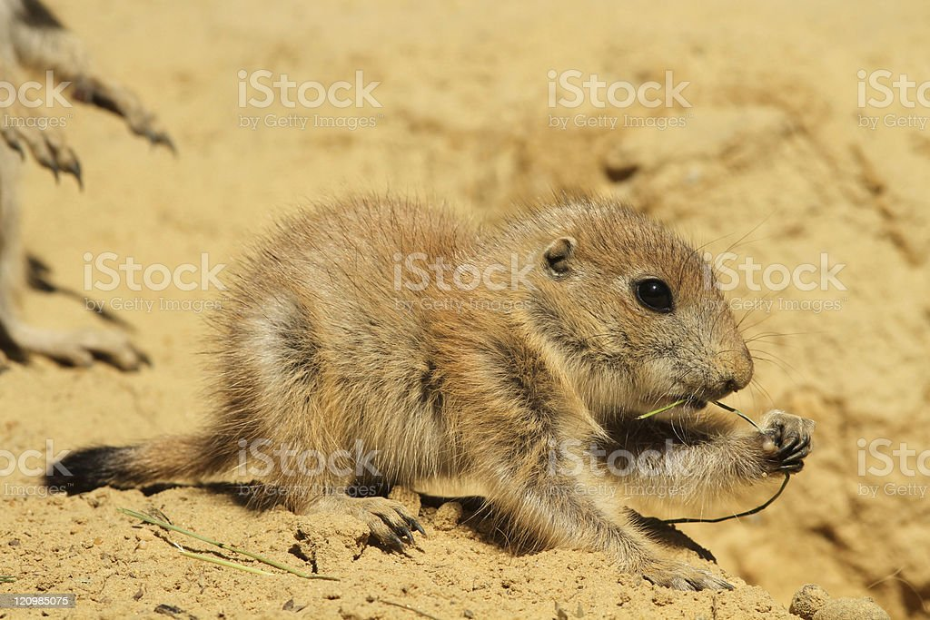 Baby prairie dog eating royalty-free stock photo