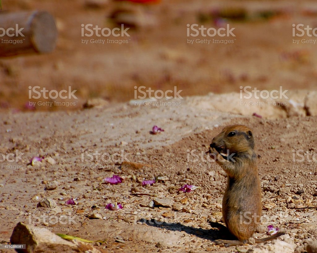 Baby Prairie Dog Eats royalty-free stock photo