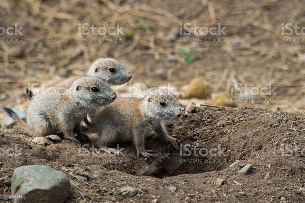 Baby Prairie Dogs stock photo