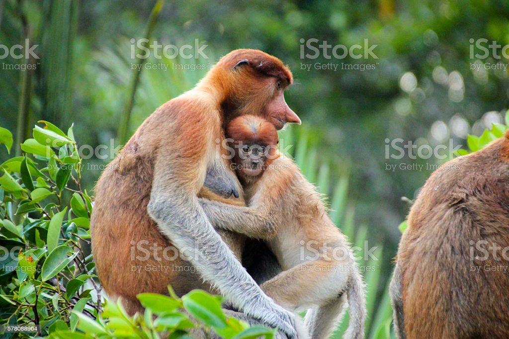 Baby Proboscis Monkey Holding Mother stock photo