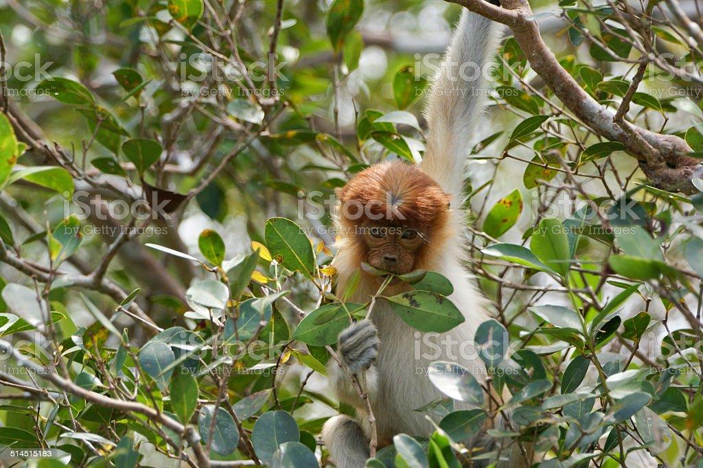 Baby Proboscis Monkey stock photo