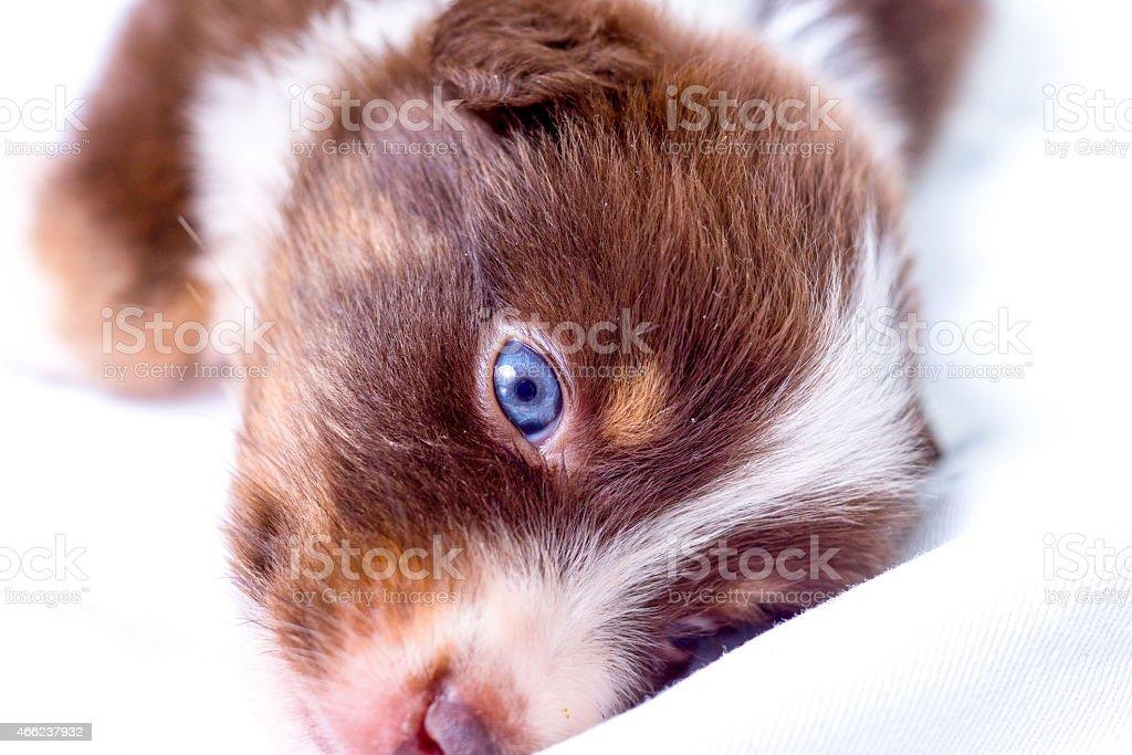 Baby Puppy Dog on White Background stock photo