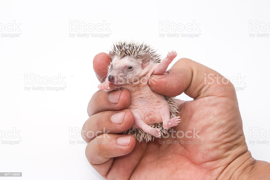 baby pygmy hedgehog on human hand stock photo