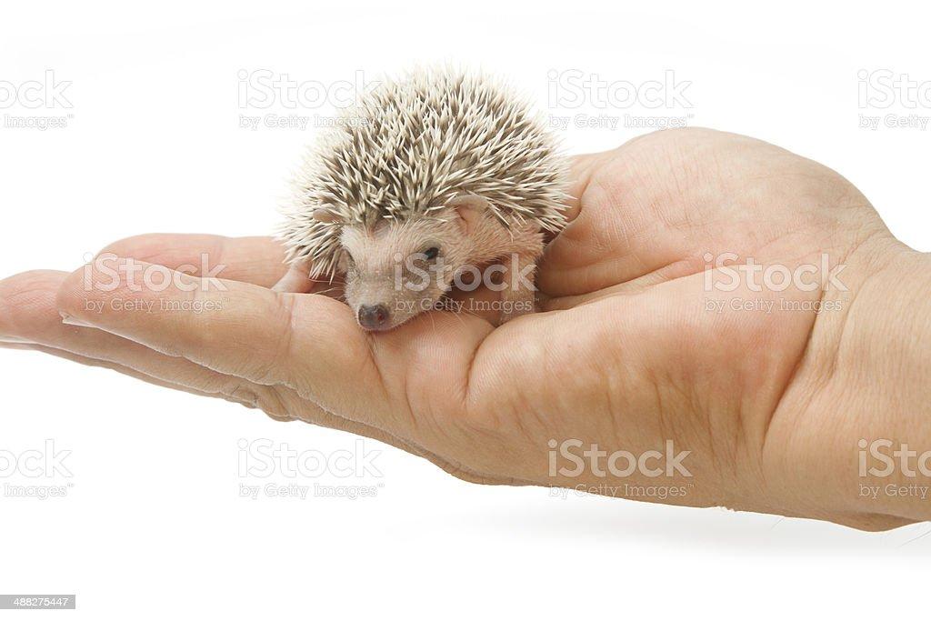 baby pygmy hedgehog stock photo