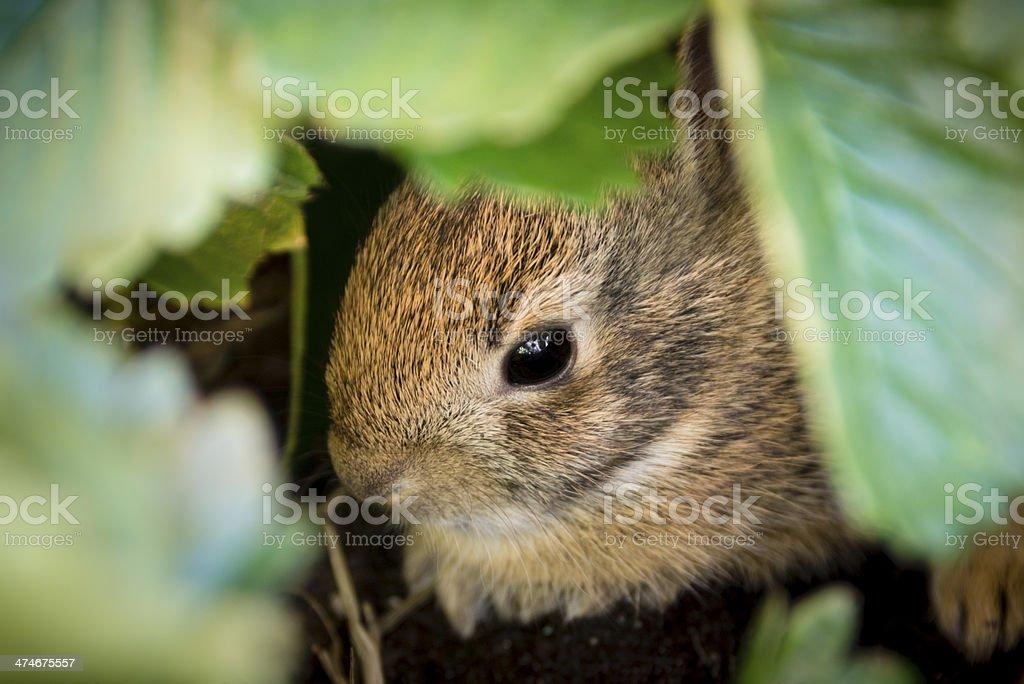 Baby rabbit hiding under strawberry plant -XXL stock photo