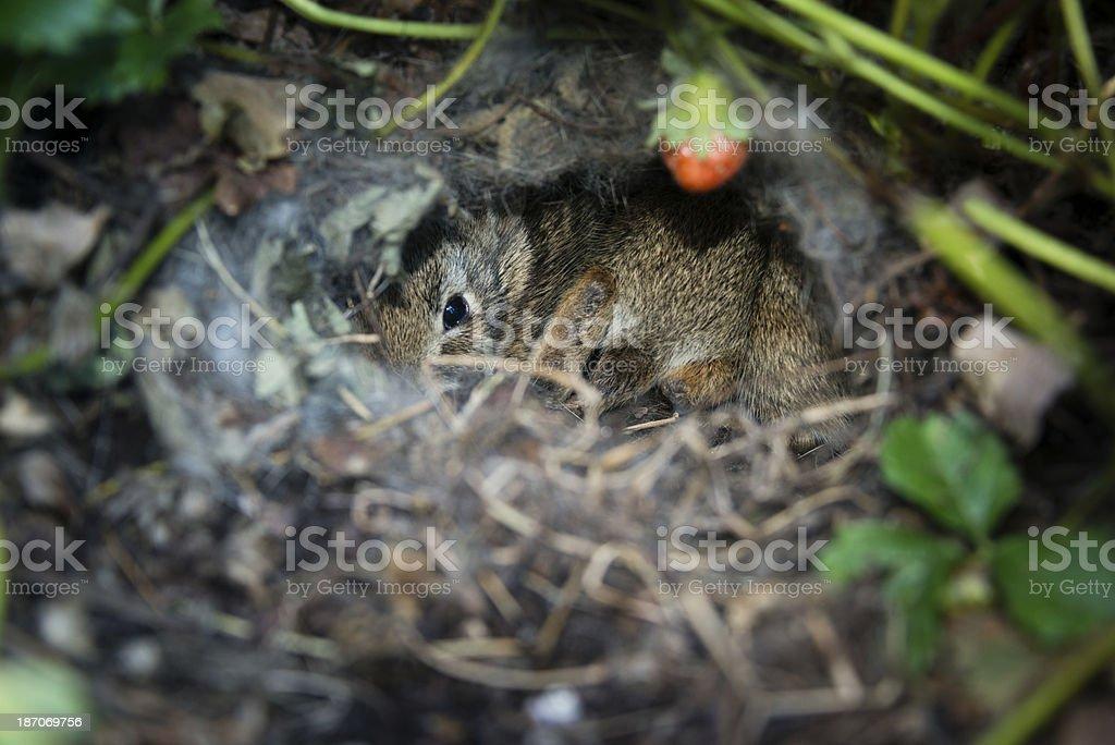 Baby rabbit hiding under strawberry plant -XXXL stock photo