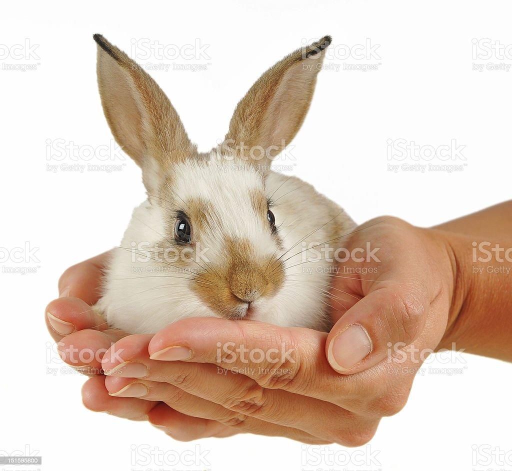 Baby rabbit in hands stock photo