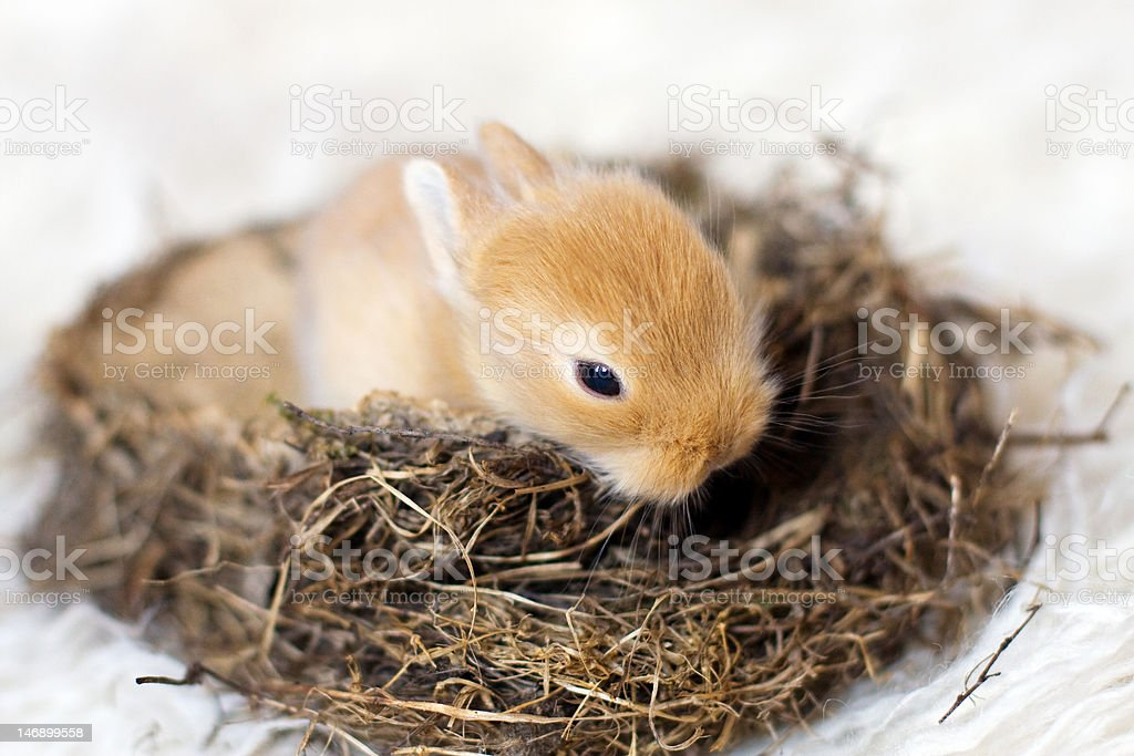 Baby rabbit in the nest royalty-free stock photo