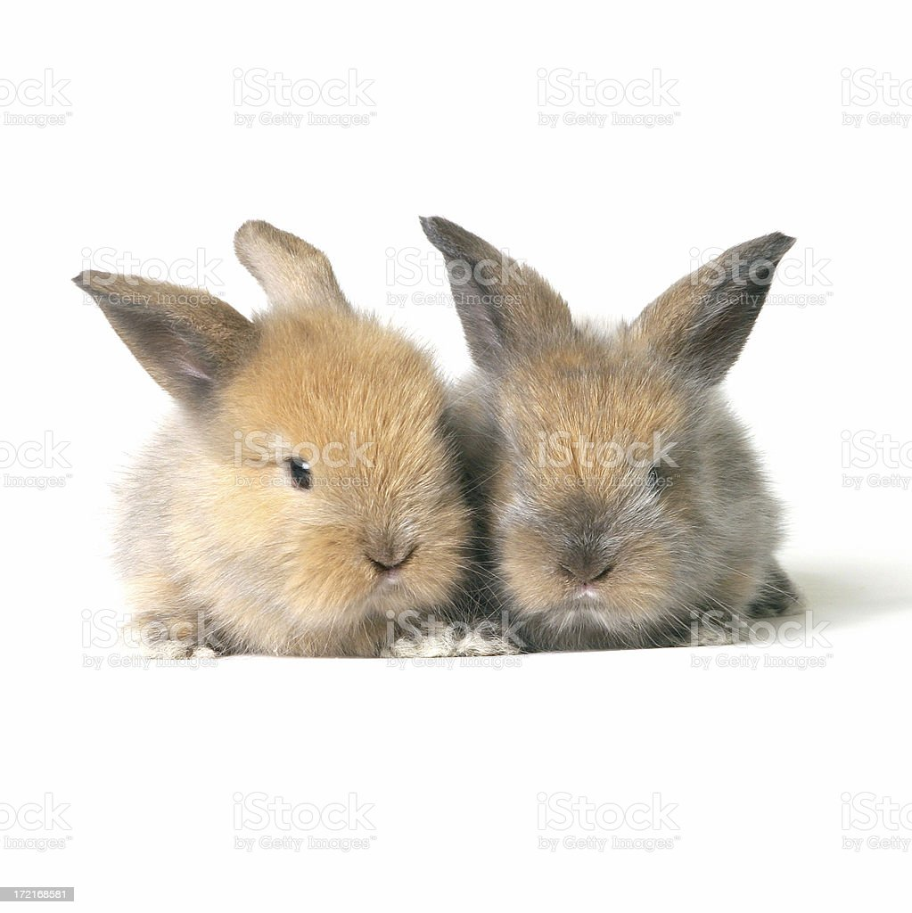 Baby Rabbits royalty-free stock photo