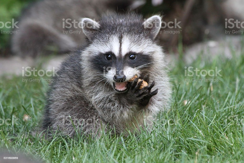 Baby Raccoon eating stock photo