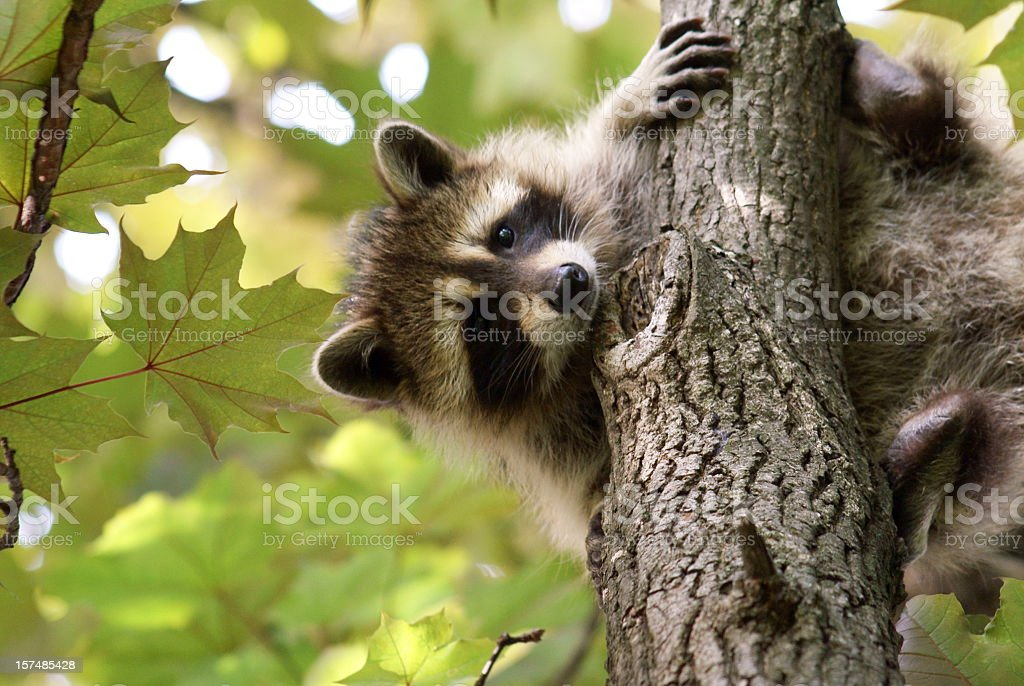 Baby raccoon holding on a tree with green leaves stock photo
