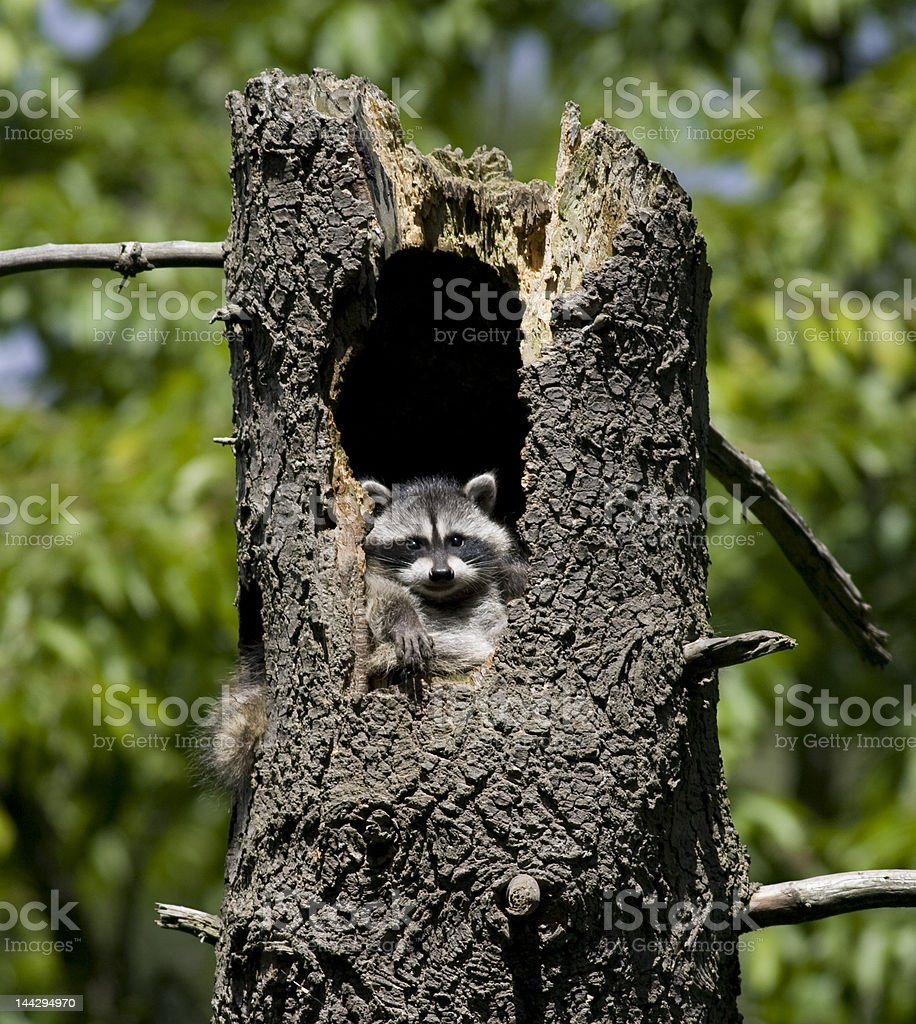 Baby Raccoon posing for the camera royalty-free stock photo