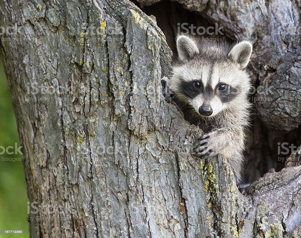 Baby Racoon stock photo